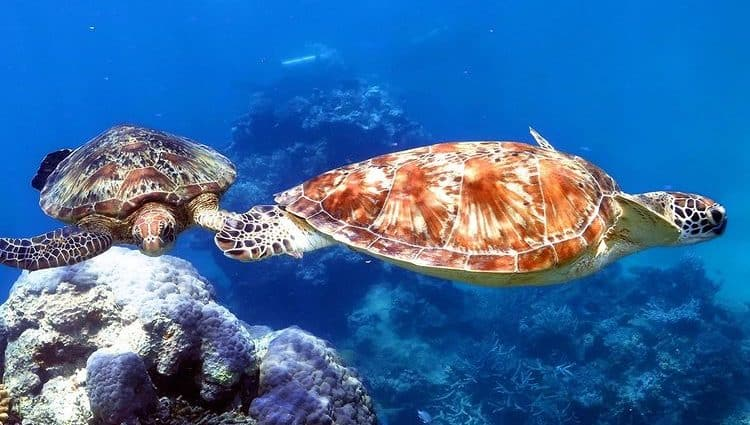 Two turtles swimming on the Great Barrier Reef